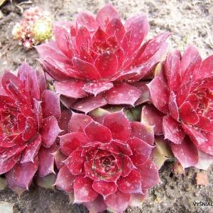 Sukulentiniai augalai