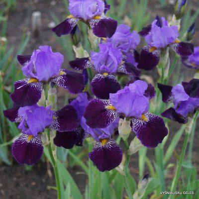 vilkdalgiai 'Purple Study'