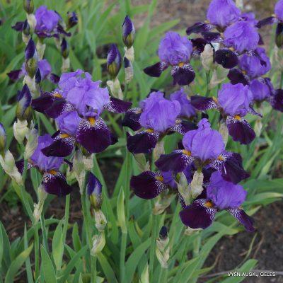vilkdalgiai 'Purple Study' (2)