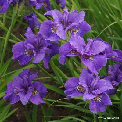 vilkdalgiai-Purple-Prose (2)