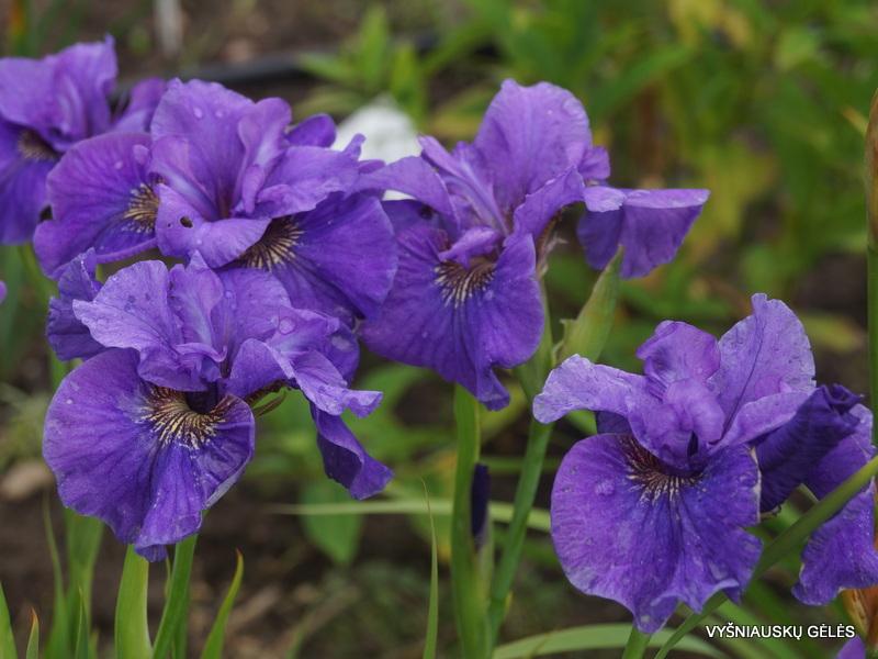 vilkdalgiai-Purple-Prose (3)