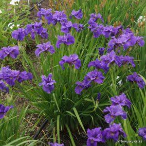 vilkdalgiai-Purple-Prose