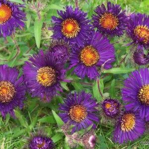 Šiurkščialapis astras 'Violetta'