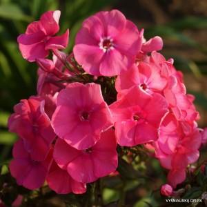 Flioksai 'Pink Attraction'