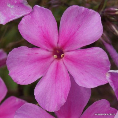 Flioksai 'Pink Painting' (2)