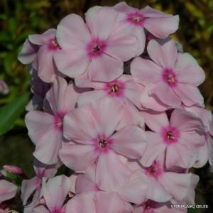 Flioksai 'Rosa Pastel'