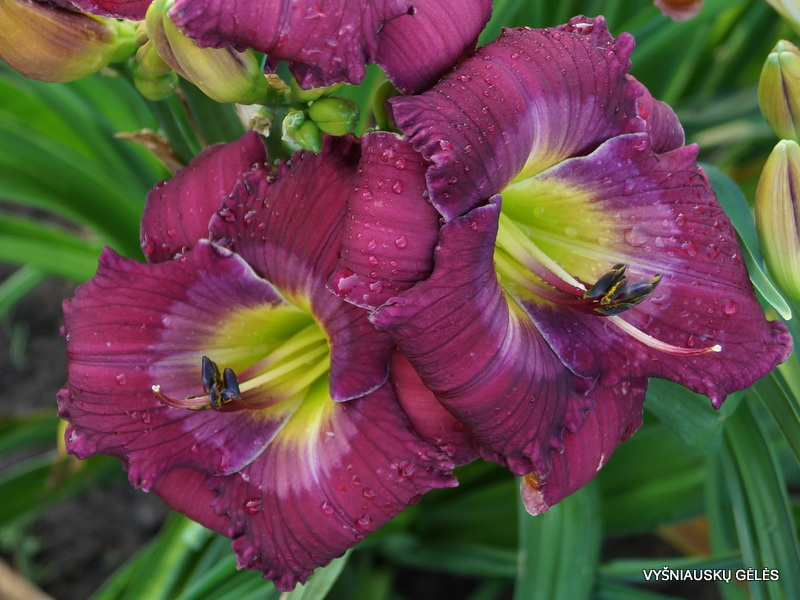 daylily-Self-Determination-2-1