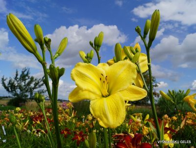 daylily-The-Space-Race-2-1