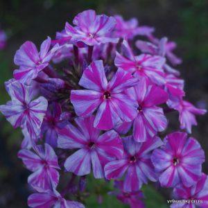 flioksai-autumn-joy