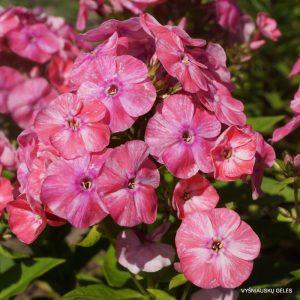 flioksai-potpourri-pink