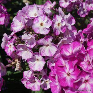 flioksai-potpourri-purple