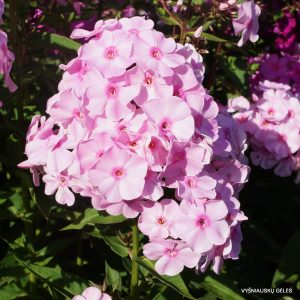 flioksai-rosanne
