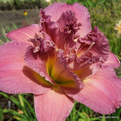 viendienes-lilac-rose-2