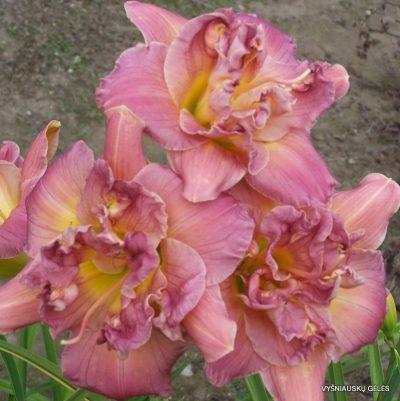 viendienes-lilac-rose