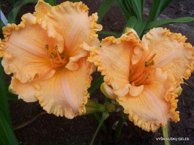 viendienes-orange-cream-2