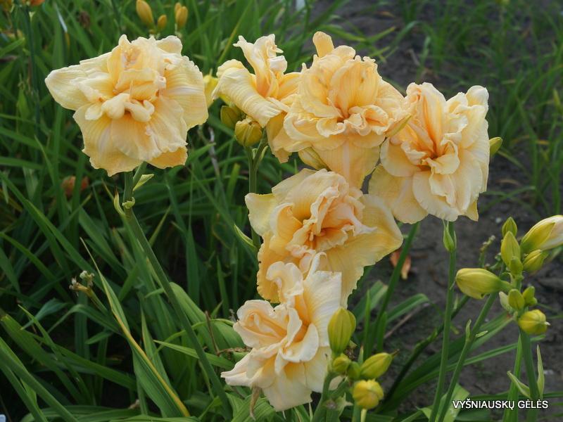 viendienes-vanilla-fluff-3