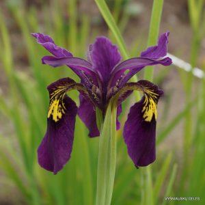 iris-ellebank-mayfly