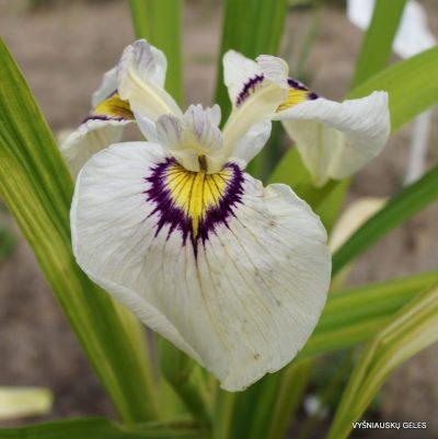 iris-himebotaru-2