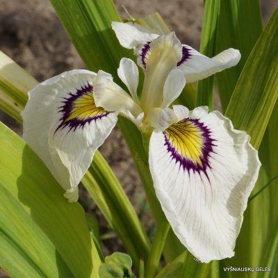 iris-himebotaru