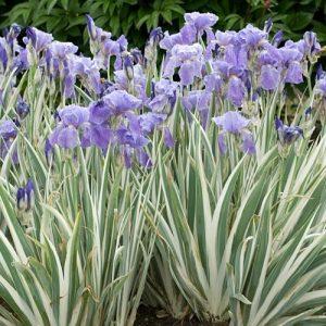 iris-pallida-argenteovariegata