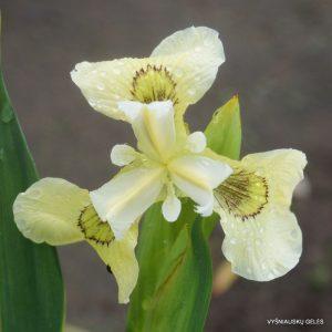iris-pseudacorus-krill