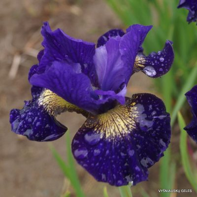 iris-sibirica-over-in-gloryland-4