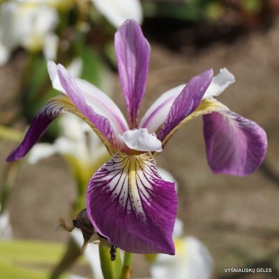 iris-versicolor-party-line-2