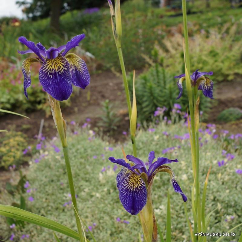 iris-ellebank-lacewing-3