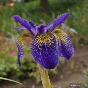 iris-ellebank-lacewing
