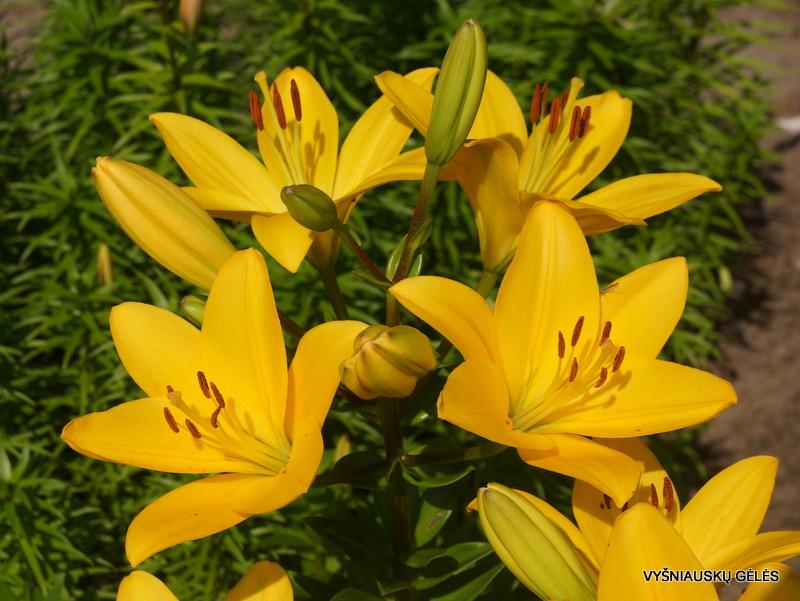 lily-oriolo-3