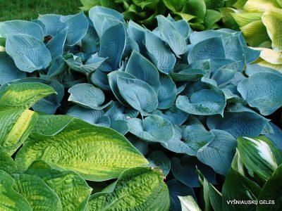 melsves-hadspen-blue