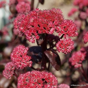 silokai-marchants-best-red
