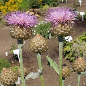 centaurea-pulchra-major