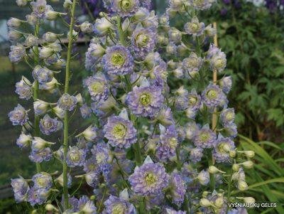 Delphinium 'Crystal Delight'