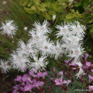 dianthus-squarrosus