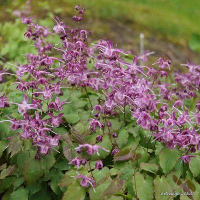 didziaziedis-epimedis-lilafee