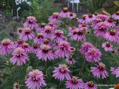 echinacea-pink-poodle