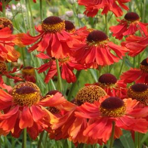 helenium-moerheim-beauty