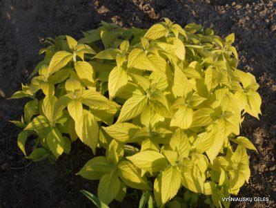 leucosceptrum-japonicum-golden-angel-2