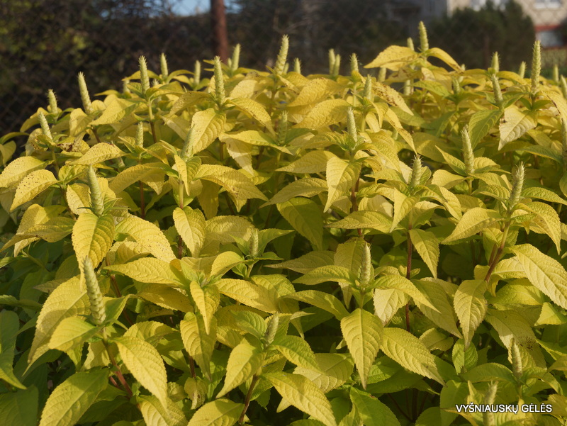 leucosceptrum-japonicum-golden-angel-3