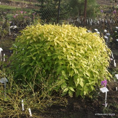 leucosceptrum-japonicum-golden-angel