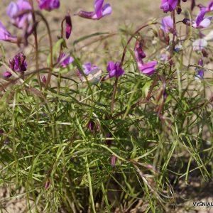 pavasarinis-pelezirnis-spring-melody