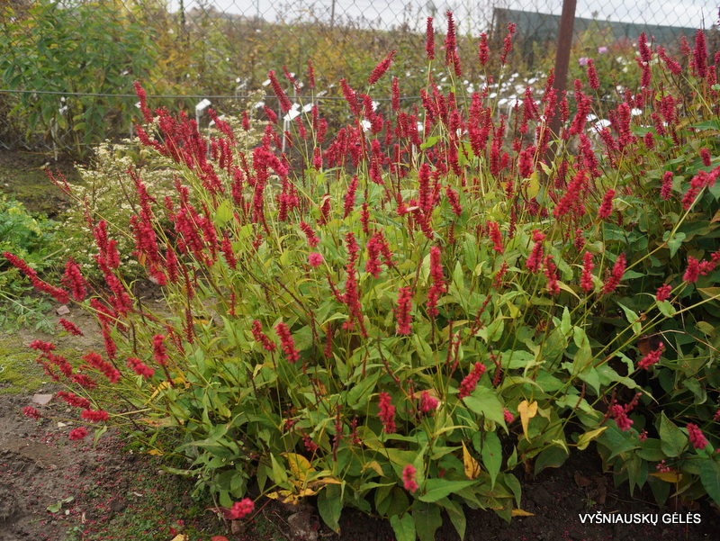 Persicaria amplexicaulis 'Blackfield' (2)