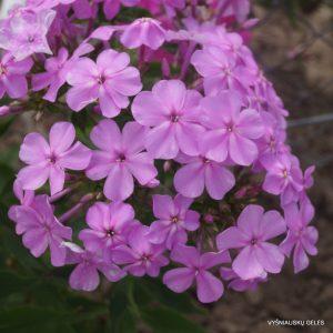 phlox-amplifolia-wildform
