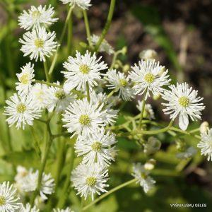trautvetteria-caroliniensis