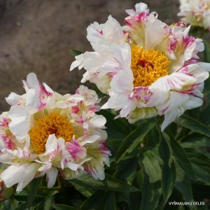 bijunai-crazy-daisy