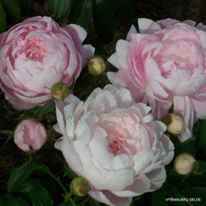 bijunai-mrs-franklin-d-roosevelt