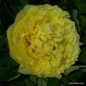 bijunai-yellow-crown