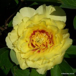 bijunai-yellow-emperor
