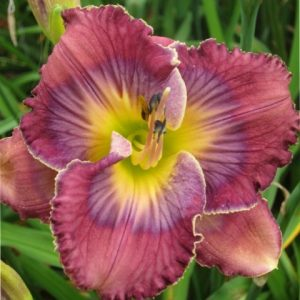 daylily-what-a-relief